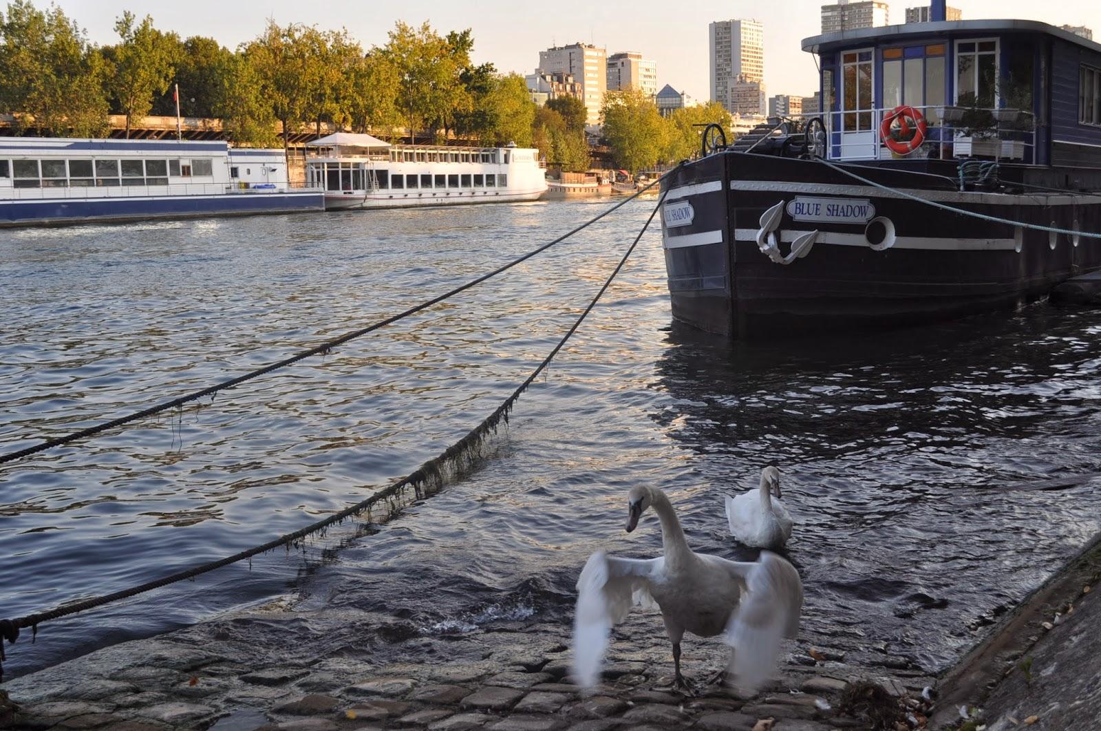 Я, лебеди край Сена. И никой не ги яде!