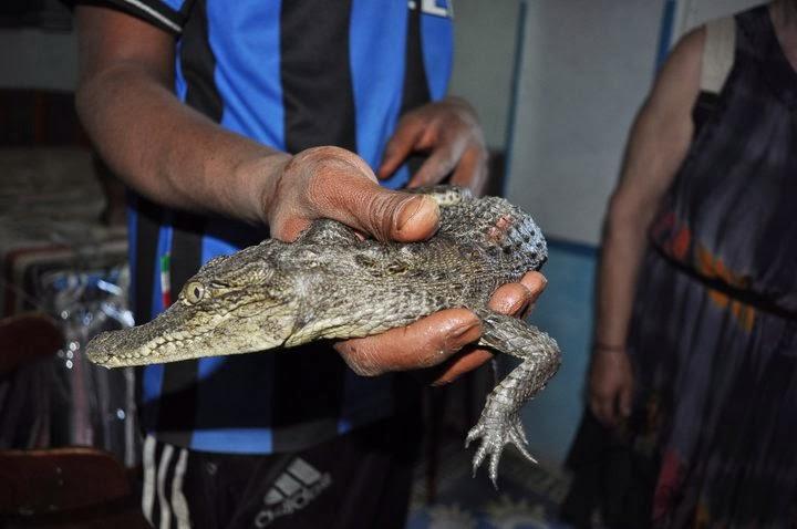 Посрещнаха ни така !Бебе крокодилче бе на годинка. Погалих го, а то се опита да ми откъсне ръката, гадинката гнусна!!