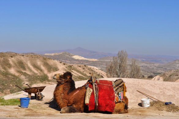 Не, това не ти е Африка. Камилите тук не са разпространено транспортно средство, а се използват за туристически цели, както навремето на Златните пясъци. Тази конкретно беше доста депресирана или упоена, а може би препарирана? Клетата животинка не помръдна през цялото време !!