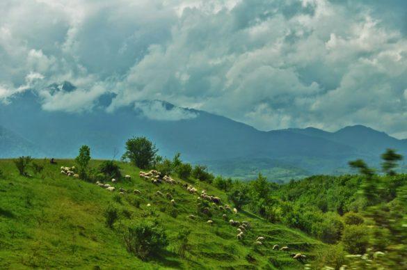 Вече сме в Трансилвания. Но явно лещите ми са слаби, защото отдалеч пасящите стада ,които се нижат от двете страни на магистралата ми приличат на ... печурки.
