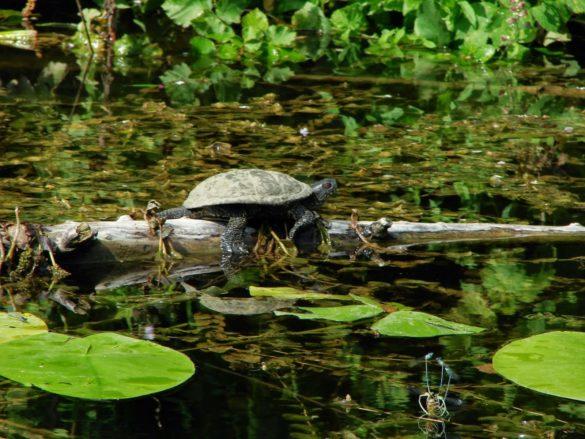 Докато се плъзгаш с лодка по гладката повърхност на Ропотамо наблюдаваш костенурки, водни кончета и всевъзможни речни твари, както и необичайна за географските ни ширини  растителност.