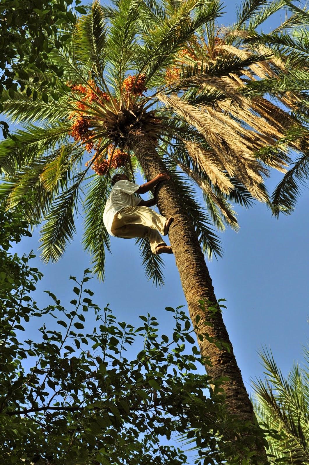 """Атракционният пакет включваше и демонстрация на катерене на палма и събиране на фурми. Слизането не е по ствола на дървото а по самите """"листа"""". За всяко нещо вадехме по един динар бакшиш"""
