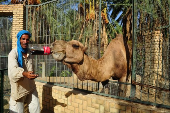 Плантацията си има и туристическа ферма. Камила пие кола. Дай един динар
