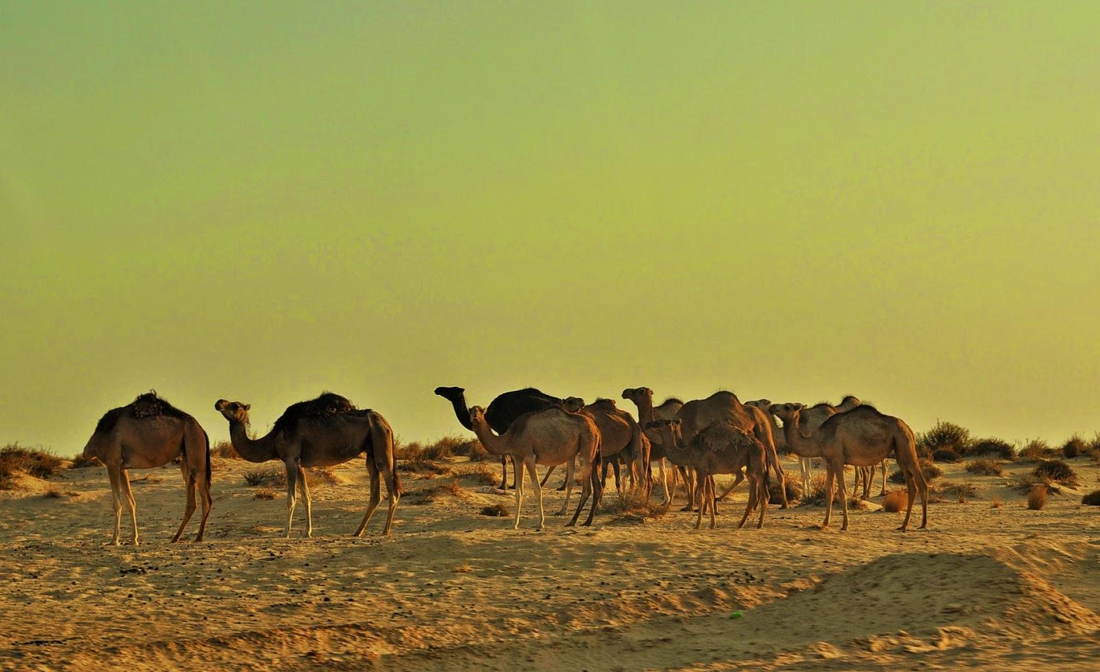 Диви камили. Водачът им е без глава!!!