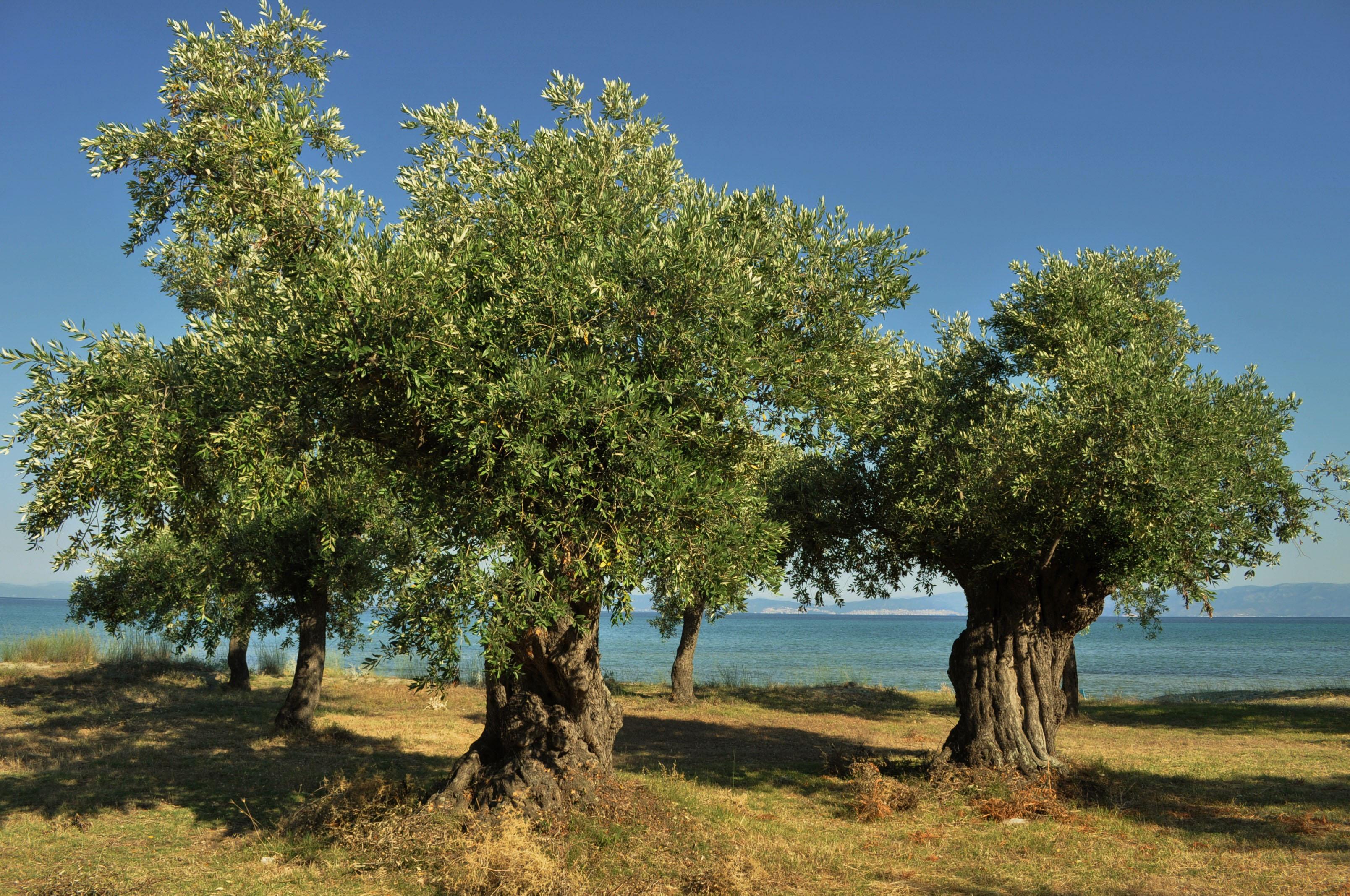 ..... и от сребристите  маслинени горички нямаше да има и помен!