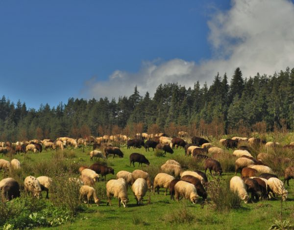 Петър и овцевъдството VIDEO