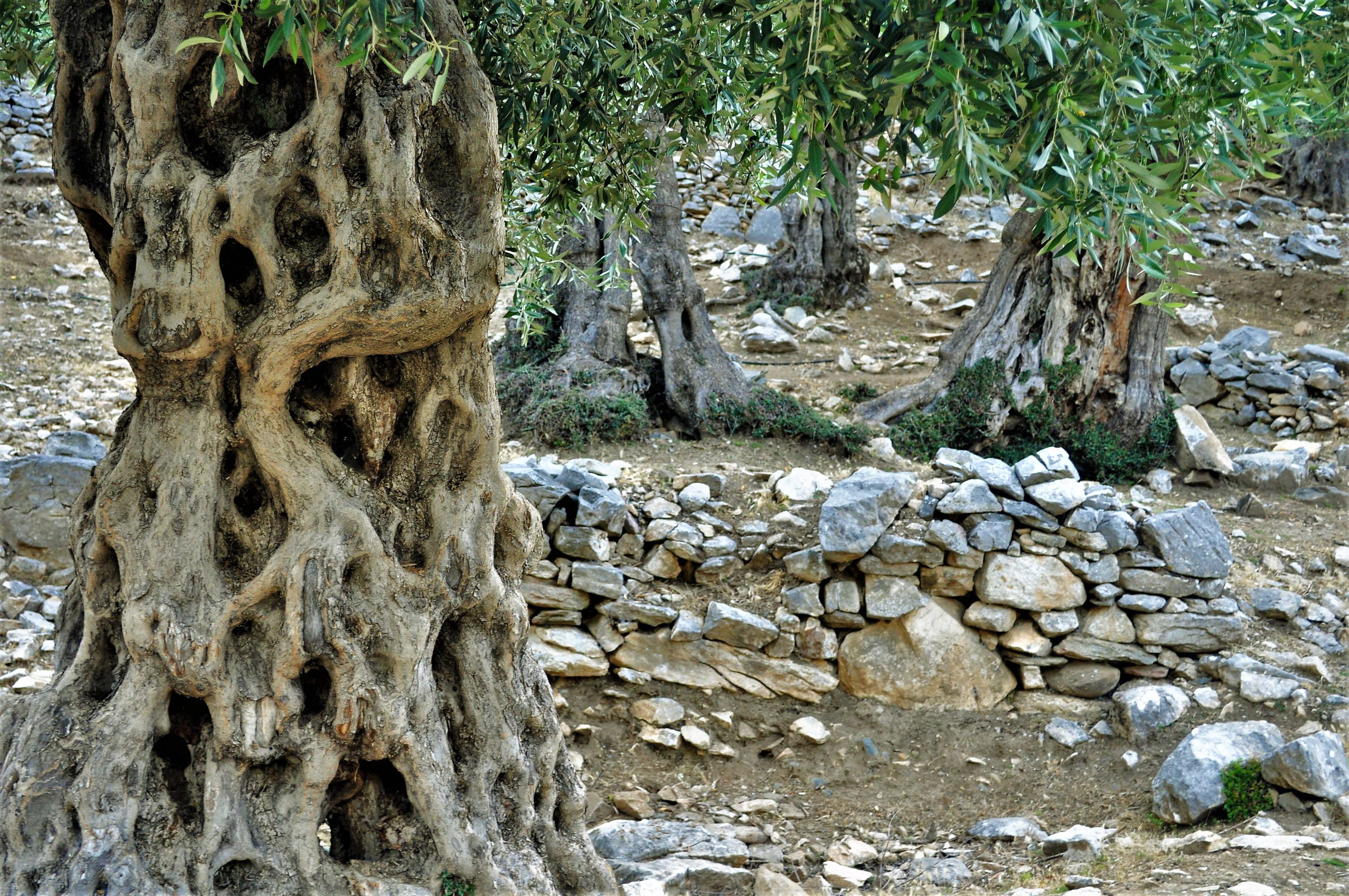 Но си струва разходката, защото в околностите на Мариес се простират златисти маслинени гори с вековни дървета, свидетели на пиратски набези, войни, суши, чумни епидемии и други бедствия, връхлитали острова.