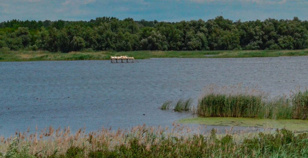 Белене остров Персин къдроглавия пеликан